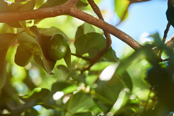 One clean green avocado