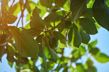 Avocado natural tree background