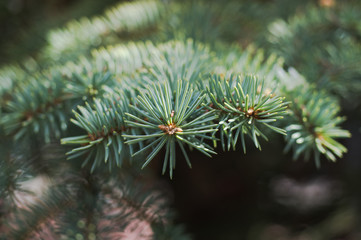 The branches of Christmas tree. Christmas and New Year's background. Macro shot