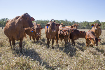 Image of a Herd of Droughtmaster Beef Cattle, Atherton Tableland, North Queensland. Prime condition and ready for market