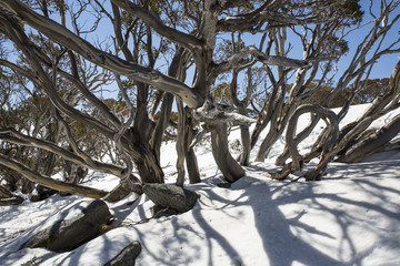 Wind blown Snow Gums at the top of Charlotte Pass, New South Wales.