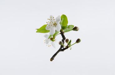 Tender inflorescences of fruit trees. Spring awakening of nature.