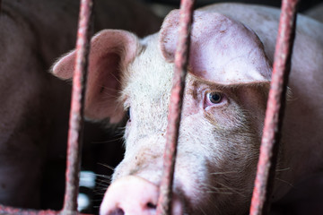 The farm pig ,walking in the sty, look like sad, can't go outside.