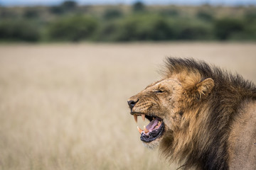 Yawning Lion in the high grass.