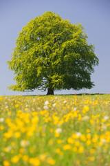 Alleinstehende Buche als Einzelbaum im Frühling auf Wiese in Bayern