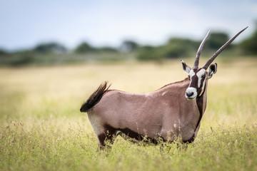 Gemsbok standing in high grass.