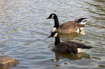 Wild geese swim in the lake