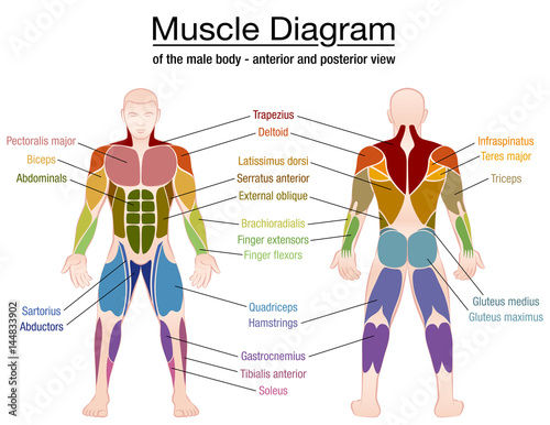 muscle diagram - most important muscles of an athletic male body, Human Body