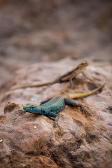 Sekukhune Flat Lizard and African Striped Skink on Stone, South Africa, Africa