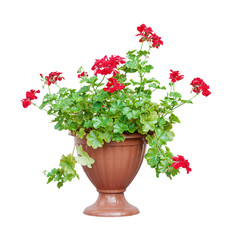 Red geranium on white background