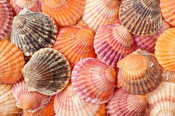 Bright summer background texture of scallop seashells