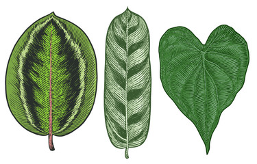 Tropical leaf illustration, drawing, engraving, ink, line art, vector
