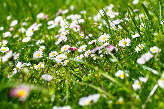 Gänseblümchen (Bellis perennis) - Heilpflanze des Jahres 2017, alternative Medizin, Kräuter sammeln und verwenden