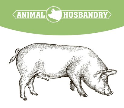 sketch of pig drawn by hand. livestock