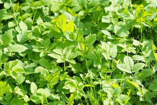 Giersch im Frühjahr - gesundes Wildkraut,  (Aegopodium podagraria) superfood in der veganen Küche