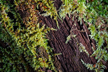 Moss Creeping over a decaying log on the forest floor