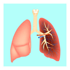 Structure of the lungs. Human anatomy. Vector illustration