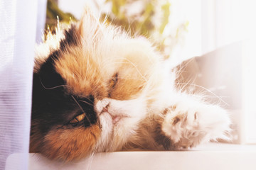 The cat of the Persian breed lies at a window.