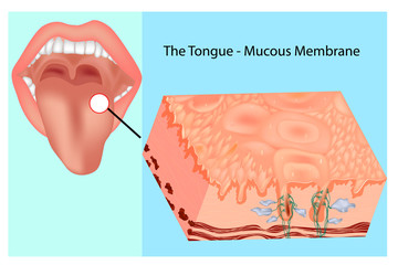 Oral mucous membrane. Structure of the tongue