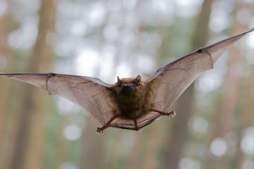 Frontalanflug einer Fledermaus im Wald