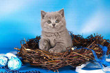 British blue kitten, Scottish straight.