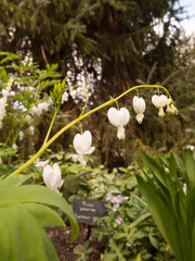 Incredible White and Hanging Bleeding Hearts in the Garden. Lamprocapnos spectabilis 'Alba'.