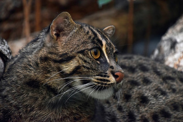 Close up side portrait of fishing cat