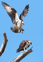Male Osprey About to Land On It's Mate