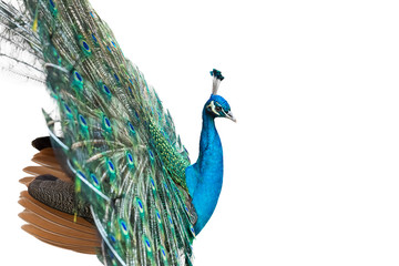 peacock isolated on white