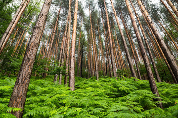 Scenic background of spring ferns in a pine forest