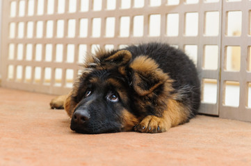 Sad cute lonely young dog (german shepherd puppy) looking away with unhappy sorrowful expression and waiting for his master