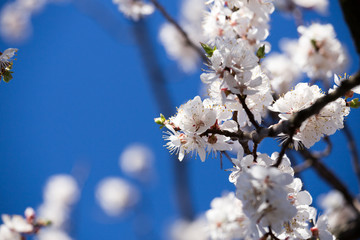 Apricot tree blossom flower on blue sky