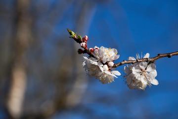 Apricot tree blossom flower on blue sky