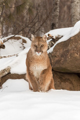 Adult Female Cougar (Puma concolor) Lifts Paw From Snow