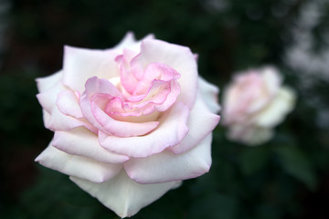 Pink and White Rose Blooming