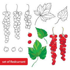 Vector set with outline Red currant, bunch, berry and leaves in black and red isolated on white background. Floral elements with redcurrant in contour style for summer design and coloring book.