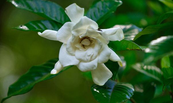 Magnolia in Albama