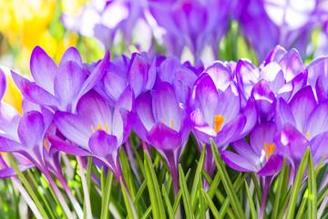 Foto op Textielframe Krokussen Purple crocus flowers