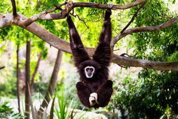 Siamang Monkey Hanging from a Tree