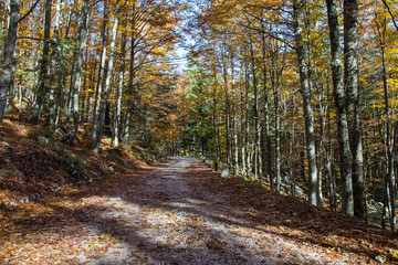 Dirt Forest Road in autumn colors with falling foliage