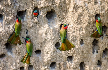 Big colony of the Bee-eaters in their burrows on a clay wall. Africa. Uganda. An excellent illustration. Wall mural