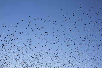 Large flock of birds in flight, blue sky, Tahiti, South Pacific
