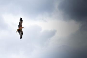 Bird in flight, eagle hawk during a falconry display