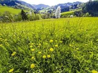 Löwenzahnwiese, Österreich, Niederösterreich, Mostviertel