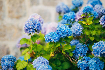 Blue, blue, pink flowers Hydrangea in the old town of Perast in Montenegro.