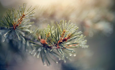 Wet branches of pine trees after a rain.
