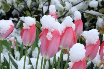 Tulpen im Schnee / Aprilwetter, Wintereinbruch im Frühling, Wechselhaftes Wetter, Klimawandel