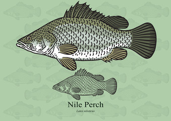 Nile Perch, African Snook. Vector illustration for artwork in small sizes. Suitable for graphic and packaging design, educational examples, web, etc.