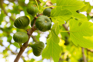 Several green figs branch on the tree