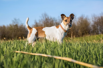 dog terrier on the green grass on a sunny day